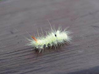 リンゴドクガ幼虫(2014年6月22日)