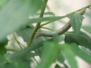 ヨモギエダシャク幼虫(2017年8月17日)