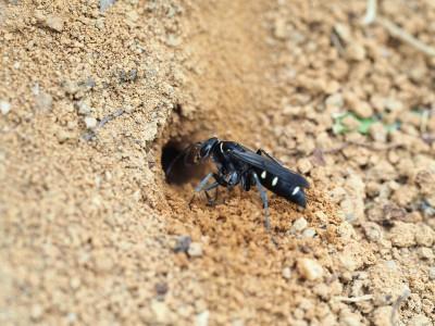 オオシロフクモバチ(2015年6月30日)