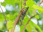 ハラビロカマキリ褐色型