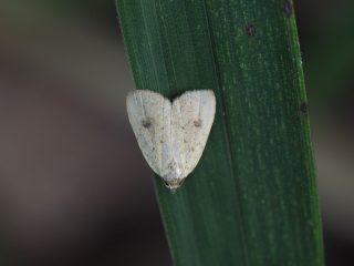 クロテンカバアツバ(1.2cm)