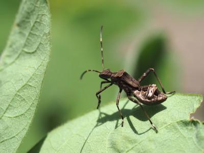 ホソヘリカメムシ4齢幼虫(2014年6月1日)