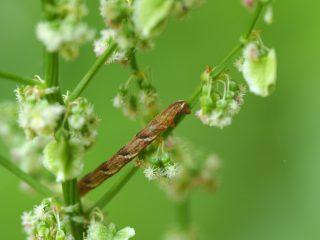 メグロウスベニシャク幼虫(2014年5月16日)