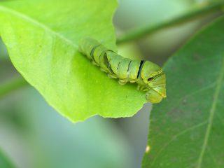 ナミアゲハ終齢幼虫(2017年5月20日)