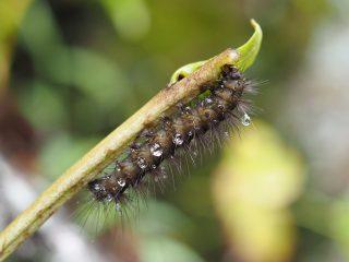 アカハラゴマダラヒトリ幼虫横側(2014年11月9日)