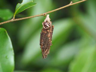 チャミノガ幼虫(2015年6月19日)