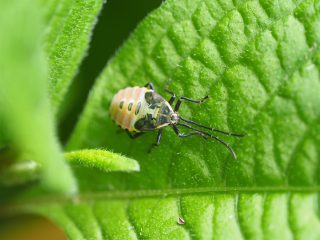 ヘラクヌギカメムシ幼虫(2016年5月7日)