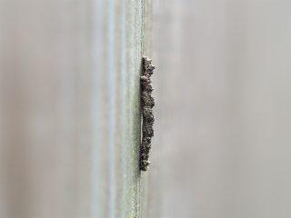 シラホシコヤガ幼虫?(2016年6月28日)