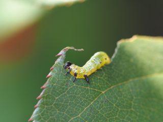 チュウレンジバチ幼虫(2014年11月12日)
