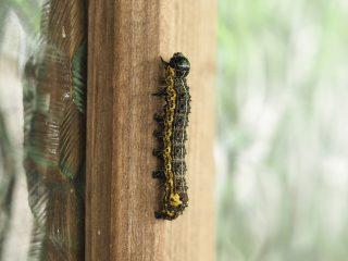 シロヘリキリガ幼虫(2015年5月3日)