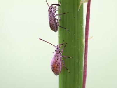 ツマキヘリカメムシ幼虫(2014年8月13日)
