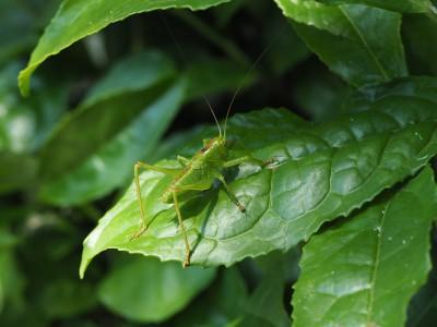 ヤブキリ幼虫(2015年5月26日)