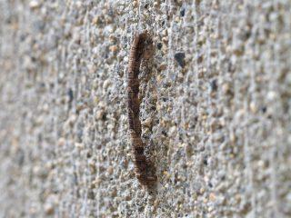 ナカウスエダシャク幼虫(2016年5月16日)
