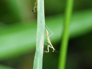 ハラビロカマキリ幼虫(2016年5月23日)