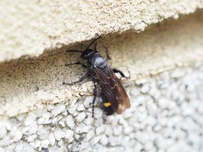 キオビツチバチ♀(2015年7月21日)