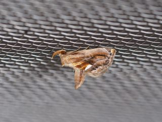 ニセミカドアツバ(1.3cm)