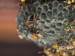 ヒメスズメバチ狩り(2018年8月27日)