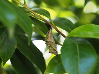 ヒオドシチョウ蛹(2015年5月11日)