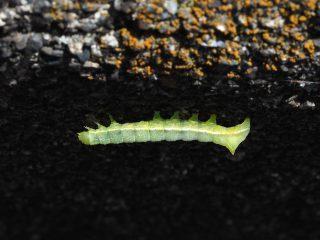 ナンカイカラスヨトウ幼虫(2015年4月26日)