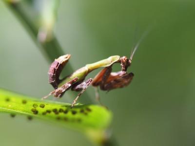 ヒメカマキリ幼虫(2013年8月26日)