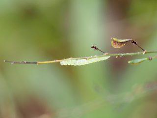 マエアカスカシノメイガ幼虫?(2014年10月14日)
