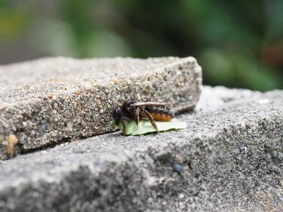 ムナカタハキリバチ♀(2014年6月26日)