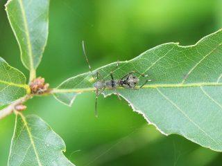 ホソヘリカメムシ1齢幼虫(2019年9月8日)