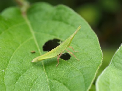 オンブバッタ幼虫(2014年7月21日)