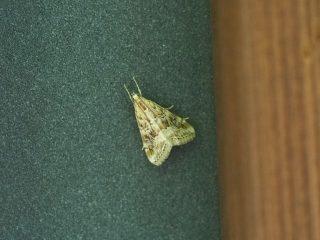 ハイマダラノメイガ(1.6cm)