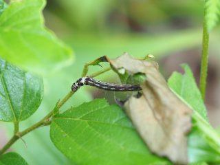 ムモンヒロバキバガ幼虫(2018年5月4日)
