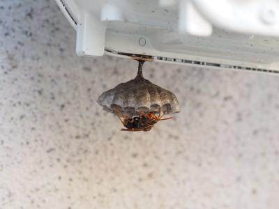 セグロアシナガバチの巣(2015年11月11日)
