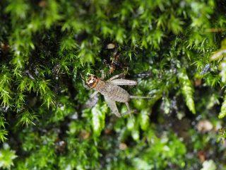 ツヅレサセコオロギ幼虫(2016年7月13日)