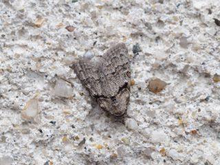 クロフマエモンコブガ(1cm)