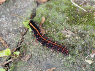 ツマグロヒョウモン幼虫(2015年6月20日)