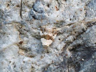 ヒメネジロコヤガ(1.3cm)