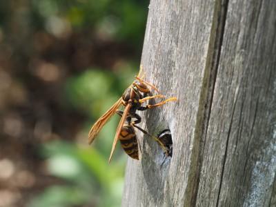 セグロアシナガバチ(2015年4月23日)
