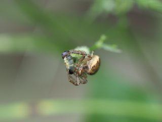カラカニグモ♀獲物(2020年5月22日)