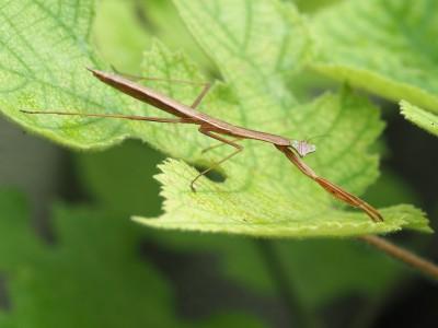 オオカマキリ幼虫(2015年7月9日)