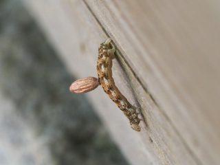 モンキキナミシャク幼虫寄生(2015年5月10日)