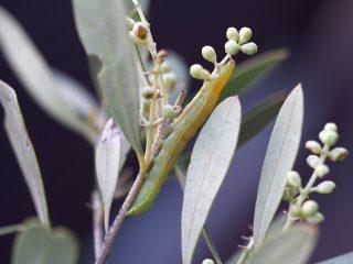 エゾキクウワバ幼虫(2014年5月1日)