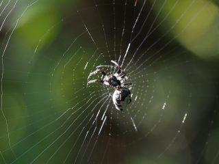 ギンメッキゴミグモ