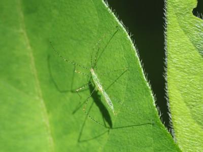 ヒメイトカメムシ5齢幼虫(2015年6月10日)