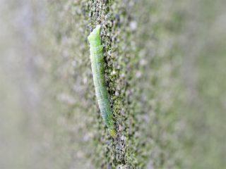 イチジクキンウワバ 幼虫(2015年11月20日)
