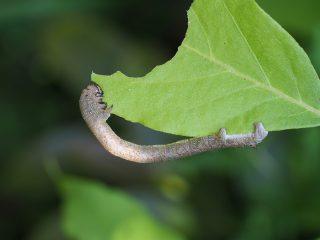 ハスオビエダシャク幼虫(2015年5月10日)