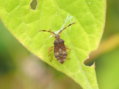 ハリカメムシ5齢幼虫(2014年10月12日)