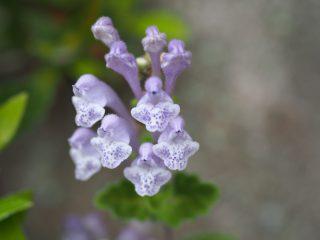 コバノタツナミソウ紫(2014年4月30日)