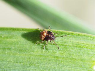 エサキモンキツノカメムシ幼虫(2016年4月19日)