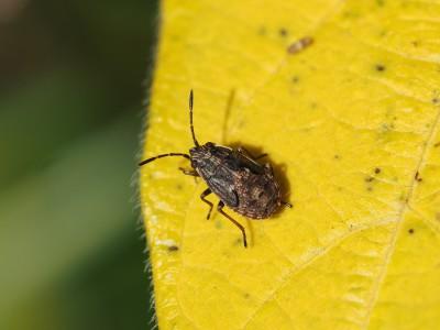 ヒメナガカメムシ幼虫(2014年10月24日)