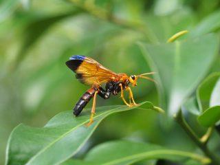 ベッコウクモバチ