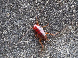 クロゴキブリ幼虫(2017年5月23日)